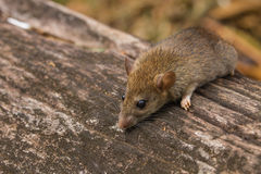 Wild mouse in the forest Stock Images