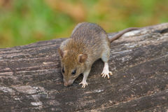 Wild mouse in the forest Stock Image