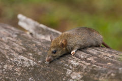 Wild mouse in the forest Stock Photos