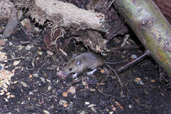 Wild mouse scavenging for food Royalty Free Stock Photo