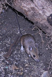 Wild mouse scavenging for food Royalty Free Stock Photography