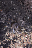 Wild mouse scavenging for food Stock Image