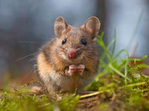 Wild mouse sitting on hind legs. Cute wood mouse sitting on hind legs Stock Photo