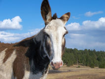 Wild mule Royalty Free Stock Images