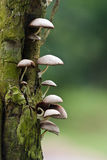 Wild Mushroom Royalty Free Stock Images