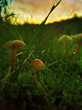 Wild mushroom. In the moss Stock Images