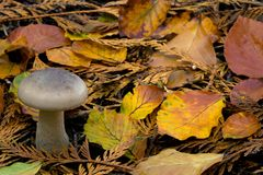Wild mushroom Royalty Free Stock Image