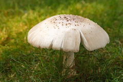 Wild Mushroom (Amanita Rubescens) Growing in Grass royalty free stock images