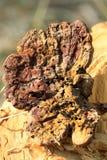 Wild mushroom Royalty Free Stock Images
