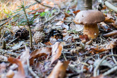Wild Mushroom with Brown Cap stock image