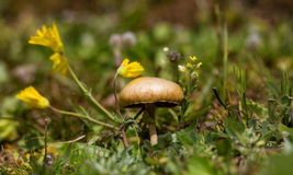 Wild Mushroom. Closeup of a wild mushroom with yellow flowers Stock Photography