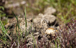 Wild Mushroom and Faeces Stock Photo