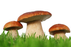 Wild mushroom family. Wild boletus mushroom family on grass isolated on white background stock photography