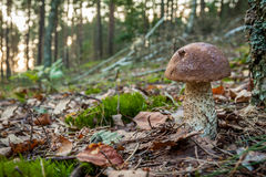 Wild mushroom in forest Stock Photography