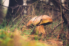 Wild mushroom in the forest Royalty Free Stock Photos