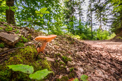Wild mushroom in the forest near the path Stock Images