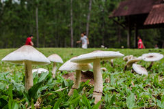 Wild Mushroom growing at backyard grass, Amanita Rubescens Stock Photo
