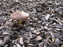 Wild Mushroom. A mushroom growing outdoors through wood chips stock photo