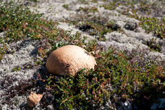 Wild mushroom. Royalty Free Stock Photography