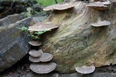 Wild mushroom grown on stump Royalty Free Stock Photography