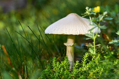 A wild mushroom grows in the forest amid moss and grass with flowers. A fabulous house for insects. Natural antiseptic Royalty Free Stock Photo