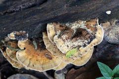 Wild mushroom that grows on wood. Royalty Free Stock Photos