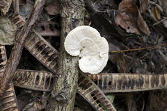 Wild mushroom that grows on wood. Stock Images