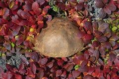 Wild mushroom Leccinum scabrum surrounded by dark red deciduous stock photos