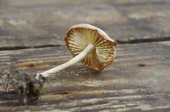 Wild mushroom (Marasmius Oreades) Stock Image