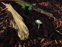 Mushroom growing in mulch. A mushroom growing in mulch in the sunlight stock photography