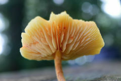Wild Mushroom Royalty Free Stock Photography