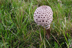 Wild mushroom toadstool in meadow Royalty Free Stock Photography