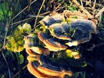 Wild mushroom on tree. stock photos