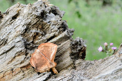 Wild mushroom on the trunk of a fallen tree II Royalty Free Stock Photography