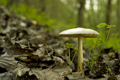 Wild mushroom in woods Royalty Free Stock Photos