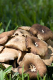 Wild mushrooms Royalty Free Stock Images