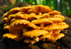 Wild mushrooms. A cluster of wild mushrooms Stock Photography