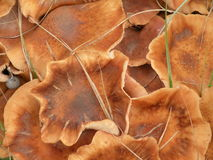 Wild mushrooms. Brown wild mushrooms suitable as background Stock Image