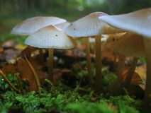Wild mushrooms. In the moss Stock Photos