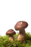 Wild mushrooms Royalty Free Stock Photo