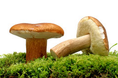 Wild Mushrooms Royalty Free Stock Image