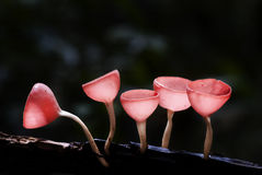 Wild Mushrooms. A group of red cup-like shape mushrooms growing out of the timber (Cookeina suleipes (Berk.) Saee Royalty Free Stock Photos