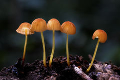 Wild Mushrooms. A group of yellow mushrooms growing out of the timber Royalty Free Stock Image