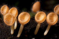 Wild Mushrooms. A group of yellow hairy mushrooms growing out of the timber Stock Photography