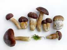 Wild mushrooms. Mushrooms plateau - sort of different Royalty Free Stock Photos