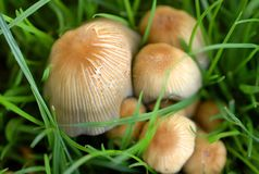 Wild mushrooms. In a grassy field in London, England Stock Images