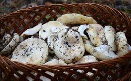 Wild mushrooms in a basket Stock Image