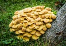 Wild Mushrooms batch Growing on Tree stump Stock Photography