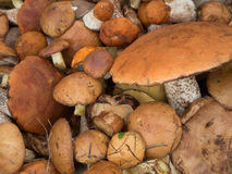 Wild Mushrooms close up Stock Image