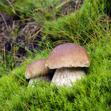 Wild mushrooms. Wild edible mushrooms in green moss in forest Stock Photography